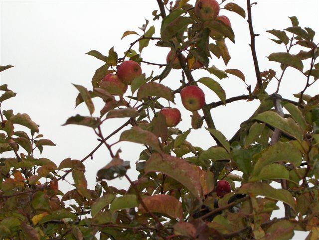 pommes2.jpg