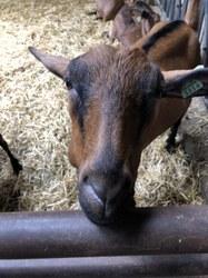 Durbuy 2019 –visite de la chèvrerie d'Ozo, visite de Durbuy en petit train et du parc topiaire